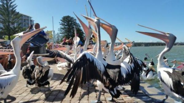 Pelican feeding gosford south coast sydney